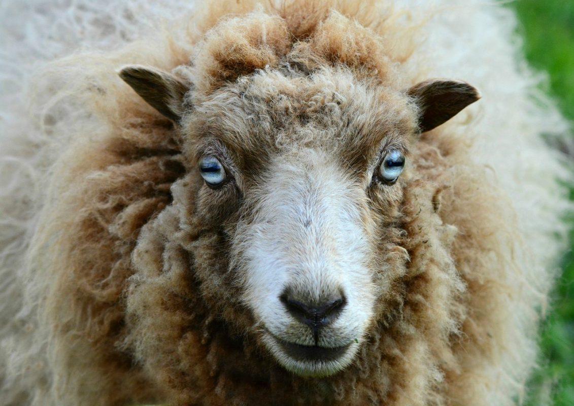 Sheep with big eyes